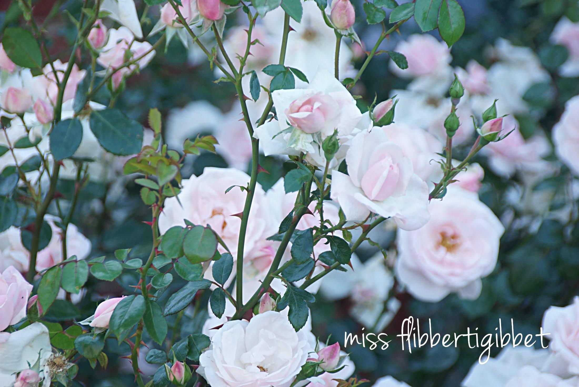 Antique Roses - Miss Flibbertigibbet